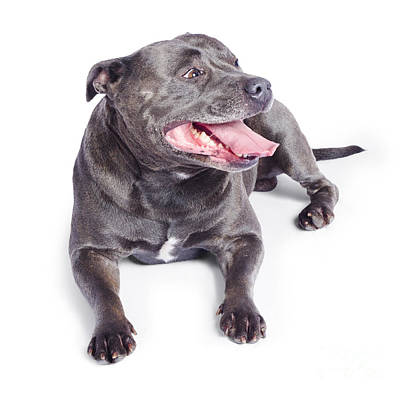 Panting Photograph - Pet Dog Isolated On White Background by Jorgo Photography - Wall Art Gallery