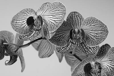 Phalaenopsis Orchid Art Print by Dariusz Gudowicz