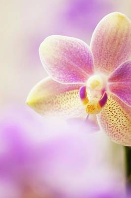 Phalaenopsis Tzu Chiang Balm 'ot0076' Orchid Art Print by Maria Mosolova/science Photo Library