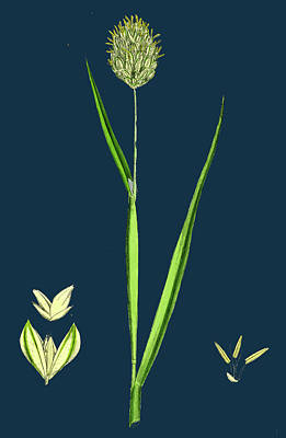 Canary Drawing - Phalaris Canariensis Canary-grass by English School