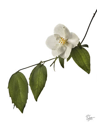 Photograph - Philadelphus by Endre Balogh