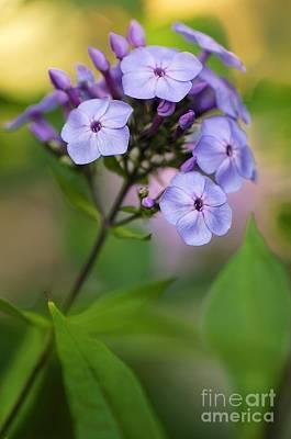 Phlox Paniculata Photograph - Phlox Paniculata by Maria Mosolova
