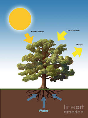 Info Graphic Photograph - Photosynthesis by Spencer Sutton