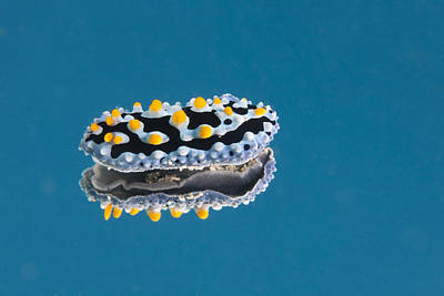 Phyllidia Coelestis Nudibranch On Blue Art Print by Terry Moore