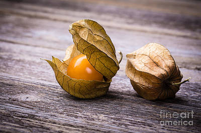 Physalis  Art Print by Jane Rix