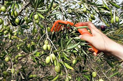 Picking Olives Art Print by Photostock-israel