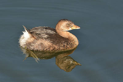 Photograph - Pied-billed Grebe by Alan Lenk