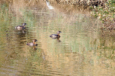 Photograph - Pied-billed Grebes by Tam Ryan