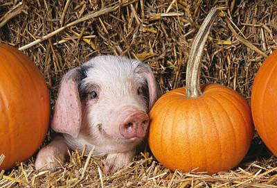 Piglet With Pumpkins Art Print by John Daniels