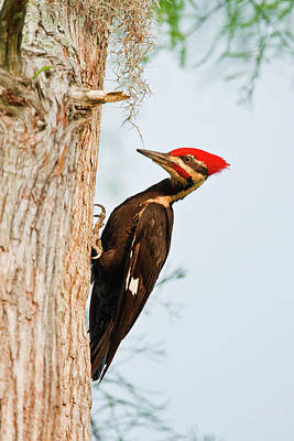 Pileated Woodpecker Photograph - Piliated Woodpecker (dryocopus Pileatus by Larry Ditto