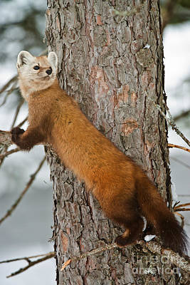Pups Digital Art - Pine Marten by Michael Cummings