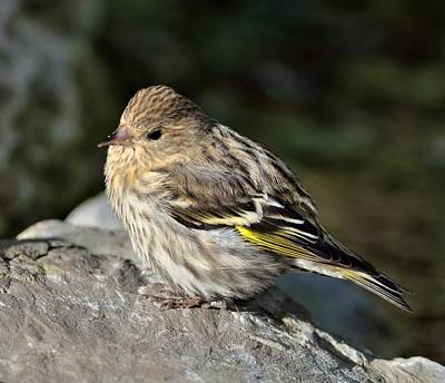 Pine Siskin  Art Print by Kathy King