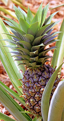 Ananas Comosus Photograph - Pineapple Plant by Millard H. Sharp