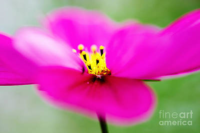 Royalty-Free and Rights-Managed Images - Pink Aster Flower by Nick  Biemans