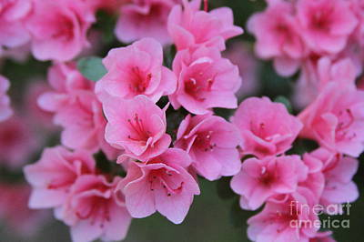 Petal Photograph - Pink Blooming Azaleas by Cathy Lindsey