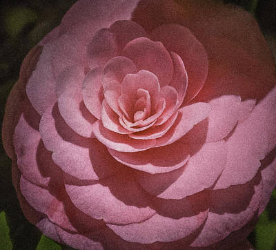 Photograph - Pink Camellia by Karen Stephenson