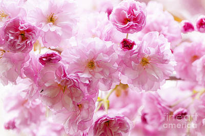 Flower Blooms Photograph - Pink Cherry Blossoms  by Elena Elisseeva