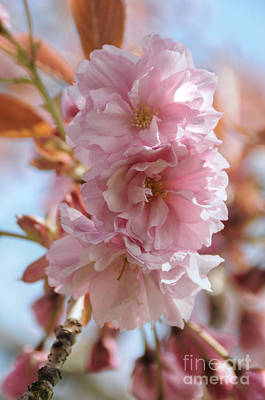 Photograph - Pink Cherry Blossoms by Sarah Schroder