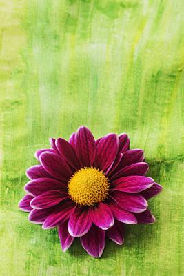 Pink Chrysanthemums Photograph - Pink Chrysanthemum by Vishwanath Bhat