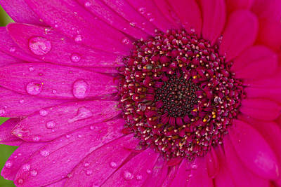 Photograph - Pink Daisy by Alexey Stiop