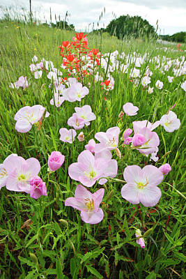 Pink Primroses Photograph - Pink Evening Primrose (oenothera by Larry Ditto