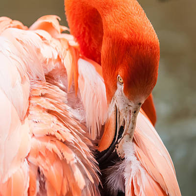 Photograph - Pink Flamingo At A Zoo In Spring by Alex Grichenko