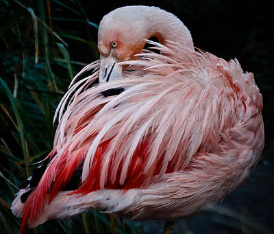 Photograph - Pink Flamingo by Athena Mckinzie