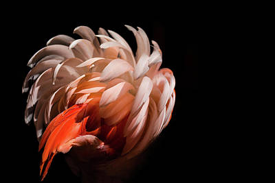 Photograph - Pink Flamingo by Billy Currie Photography