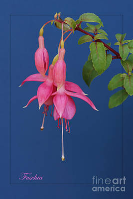Photograph - Pink Fuschia by David Birchall