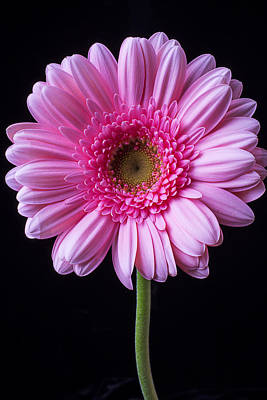 Gerbera Photograph - Pink Gerbera Daisy by Garry Gay