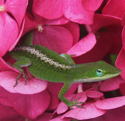 Photograph - Pink Hydrangea And Lizard 2 by Cathy Lindsey