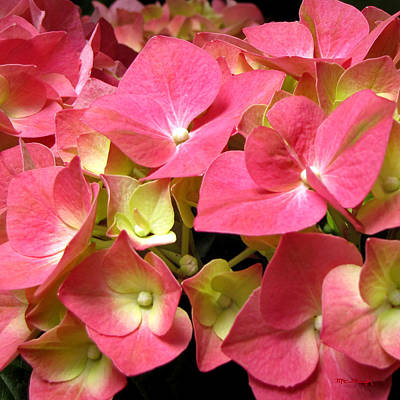 Photograph - Pink Hydrangea Flowers by Duane McCullough