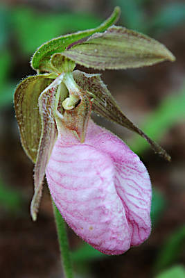 Photograph - Pink Ladyslipper Orchid  by William Tanneberger