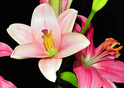 Photograph - Pink Lilies by Lula Adams