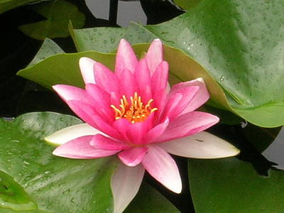 Photograph - Pink Lotus by Kristen R Kennedy