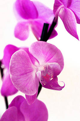 Pink Orchid On Canvas  Original by Tommytechno Sweden