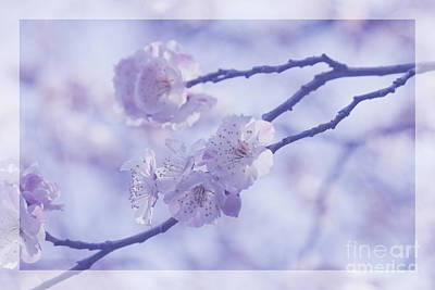 Photograph - Pink Plum Blossoms With Violet Tones by Beverly Claire Kaiya
