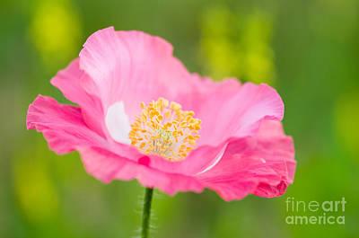 Colorful Photograph - Pink Poppy by Oscar Gutierrez