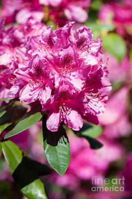 Rhododendron Or Azalea Bright Pink Flowers  Art Print by Arletta Cwalina