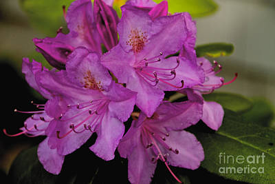 Photograph - Pink Rhododendron by William Norton