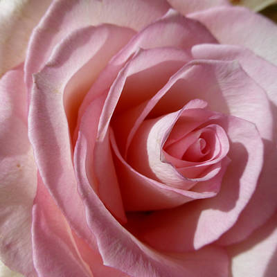 Photograph - Pink Rose 2 by Claudia Goodell