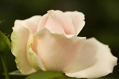 Pink Rose Original
