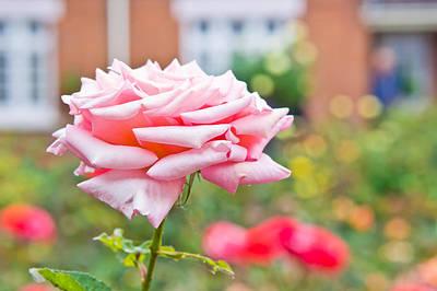 Suburban Photograph - Pink Rose by Tom Gowanlock