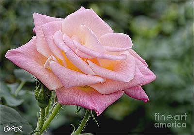 Photograph - Pink Rose by Wanda Krack