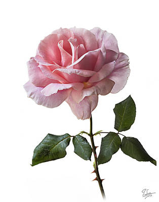 Photograph - Pink Rose  by Endre Balogh