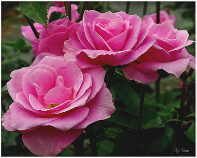 Photograph - Pink Roses by James C Thomas