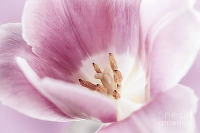 Photograph - Pink Tulip Macro by Elena Elisseeva