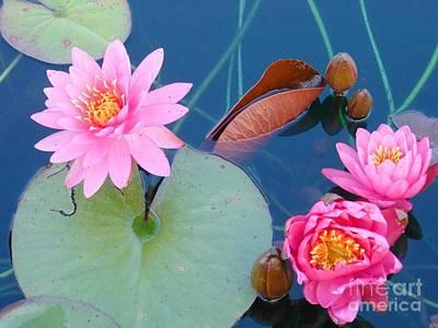 Pink Water Lilies Art Print