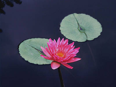 Pink Water Lily Two Pads Print by Tom Wurl