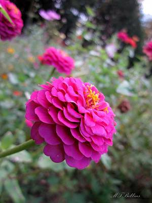 Photograph - Pink Zinnias by MTBobbins Photography